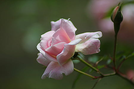 Rosa, floral, planta, natural, flor, flor, pètal