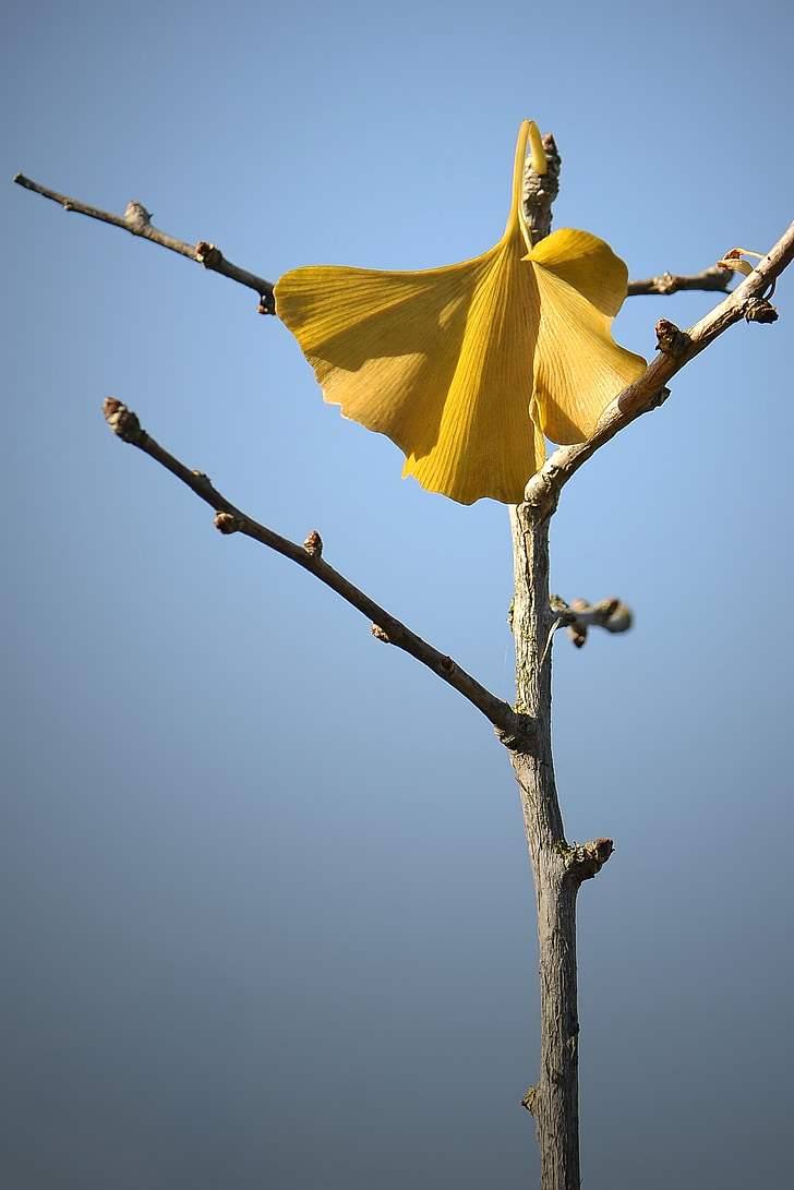 welkes lapas, rudenį, geltonas lapas, uschłą, džiovintų lapų, Ginkmedžio lapų, Ginkmedžio lapai