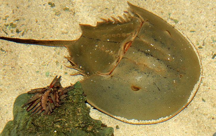 cranc de ferradura, vida de mar, crustaci, Mar, Marina, sota l'aigua, animal