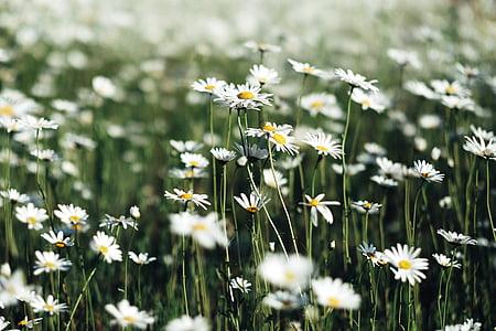 white, flowers, petals, blur, garden, field, farm