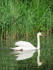swan, white swan, bird, swans, gracefully, swimming, water
