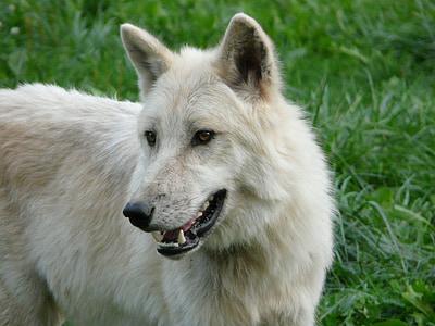 wolf, white, carnivore, nature, dog, animal, mammal