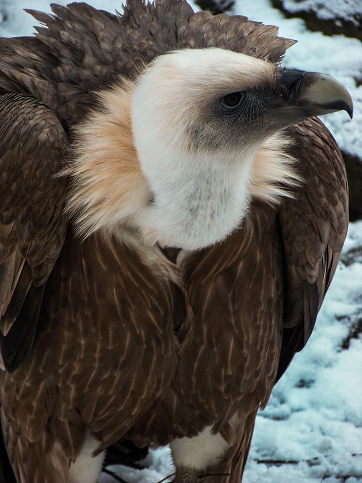 vulture, griffon vulture, bird of prey, zoo, bird, beak