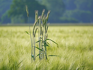 rye in barley field, outstanding, spike, cereals, agriculture, cornfield, grain