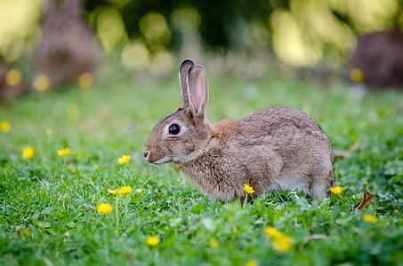 eläinten, pupu, Söpö, kenttä, ruoho, nurmikko, vähän