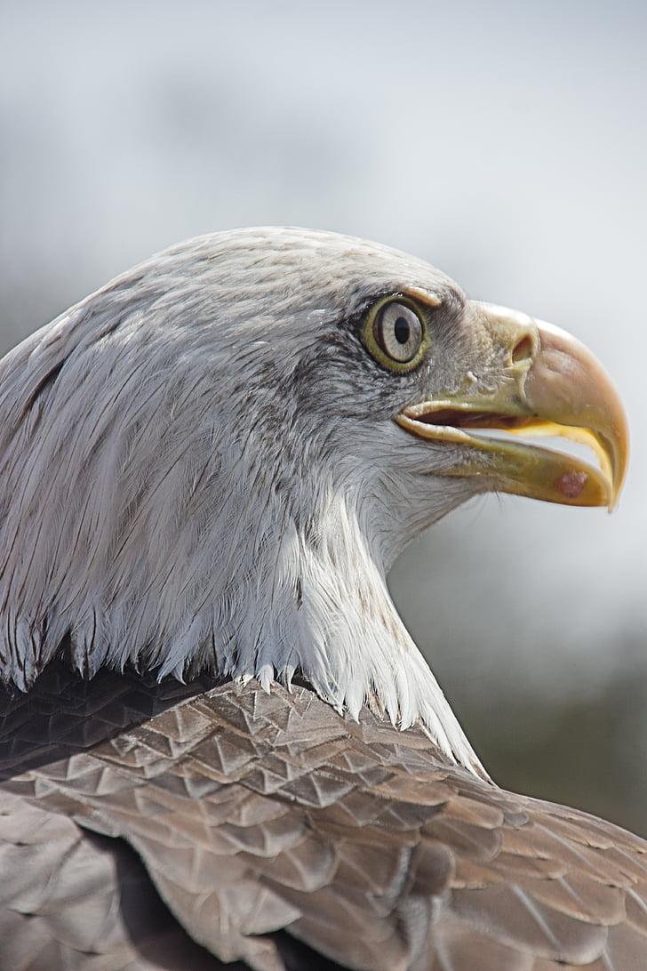 eagle, bird of prey, bird