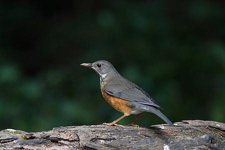 Птица дрозд, птици, диви птици