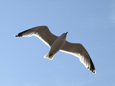 lokki, lento, taivas, lintu, eläinten, lentää, vesilintu