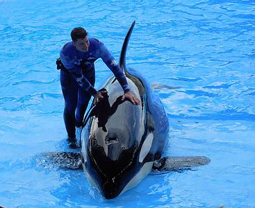 Orca, orque, Voir l'établissement, animal, SeaWorld
