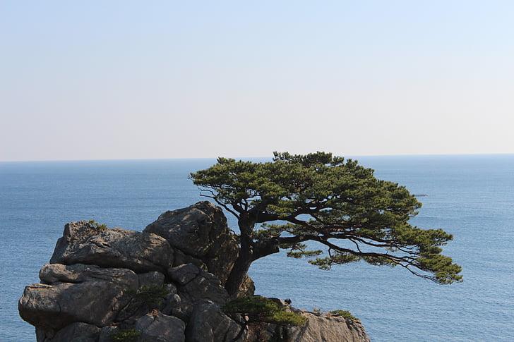 rocha, Pinheiro, pinheiros de mar