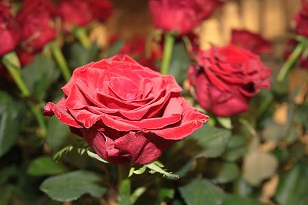 Rosa, vermell, roses vermelles, flors, Rosa - flor, natura, pètal