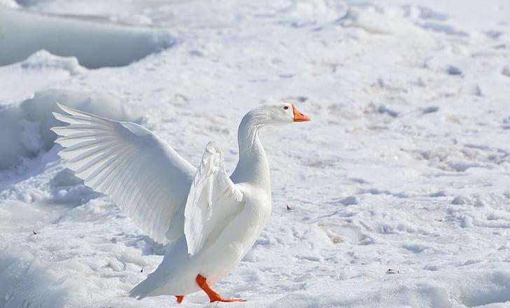 птица, гъска, природата, сняг, снежна гъска, мигрираща блатна птица, зимни