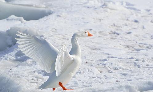 větší Husa sněžní, Husa, Husa sněžní, brodivý pták, Zimní, Příroda, volně žijící zvířata