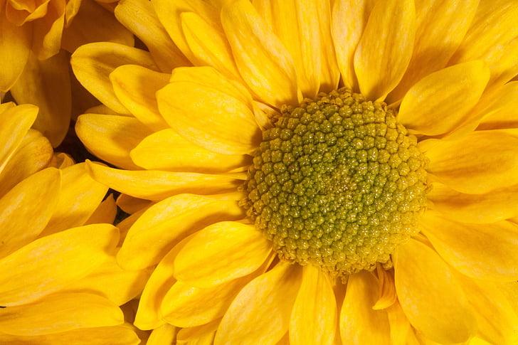 vrt krizanteme, Chrysanthemum grandiflorum, skupno cvetni prah, košara, v obliki, naturopathy, rumena, makro