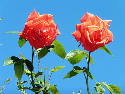 τριαντάφυλλα, πορτοκαλί, λουλούδι, άνθος, άνθιση, αυξήθηκαν οι ανθίσεις, πορτοκαλί τριαντάφυλλα