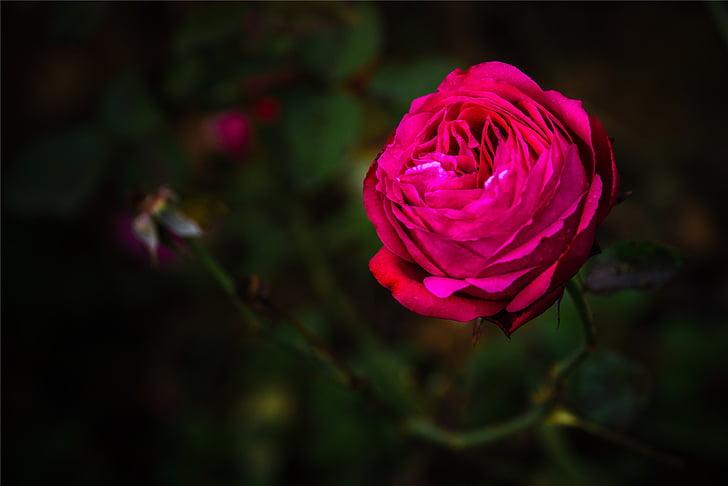 Cveće - Page 21 Rose-red-dark-petal-preview