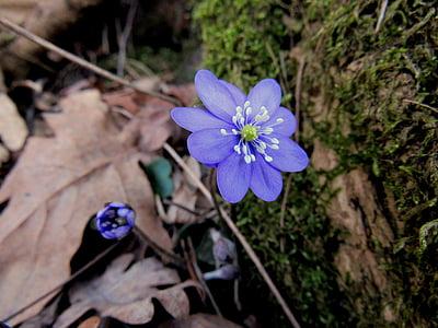 jetrnik, marca cvet, pomlad, gozdnih tleh, cvet, na prostem, rastlin