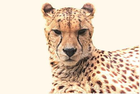 cheetah, animal, nature, cat, predator, big cat, creature