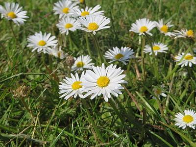 daisy, plant, flower, yellow, nature, spring, garden