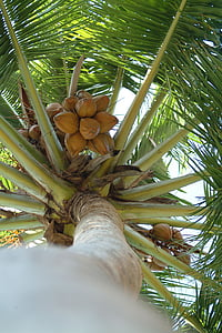coconut, palma, maldives