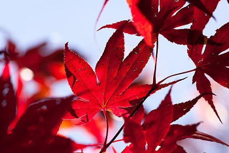 maple, autumn, leaf, red, leaves, coloring, bright