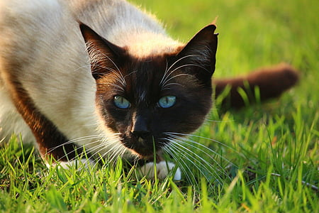 cat, mieze, kitten, siamese cat, siam, siamese, grass