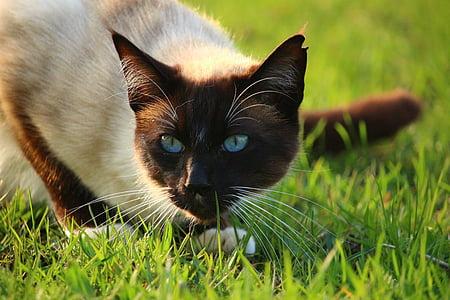 猫, mieze 型, 子猫, シャム猫, サイアム, シャム, 草