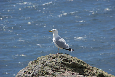 seagull, bird, animal, rock, waterfowl