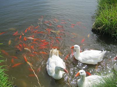 valkoinen hanhet, kultakala, lampi, kala, kesällä, oranssi, valkoinen