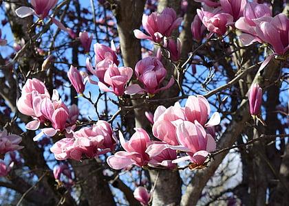 pink magnolia, magnolia, tree, plant, garden, nature, spring