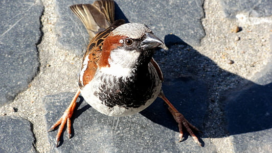 птица, врабче, wróbelek, врабче общи, перо, Криле, малка птичка
