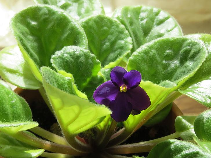 violeta africana, flor, violeta, planta, flors violeta, planta de la casa, Saintpaulia