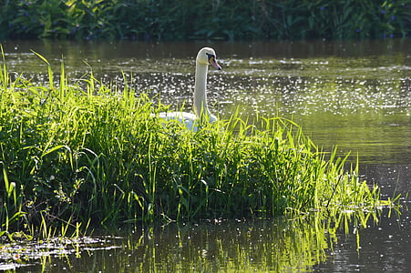 nature, swan, water, pond, spring