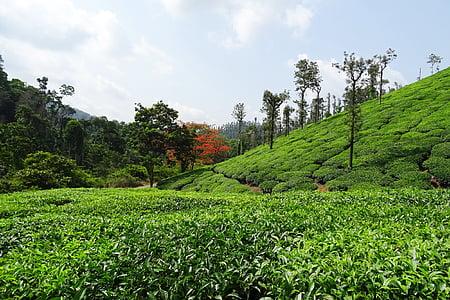 čajová záhrada, čaj, rastlín, Plantation, Estate, Shree ganga, chikmagalur