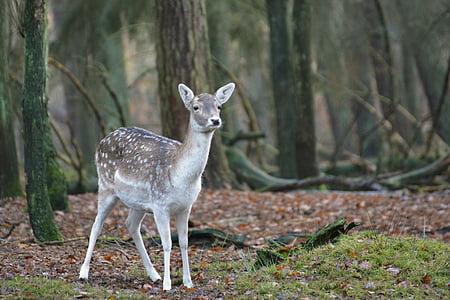 hươu fallow, Roe deer, Kitz, rừng, hoang dã, động vật, Hirsch