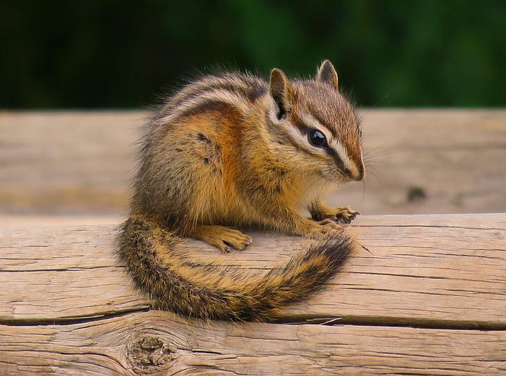 vjeverica, biljni i životinjski svijet, slatka, glodavaca, divan