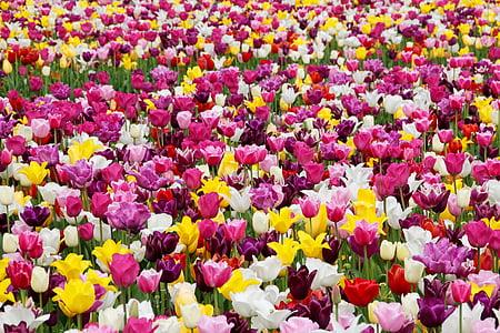 tulips, tulip field, tulpenbluete, tulip fields, field of flowers, colorful, holland
