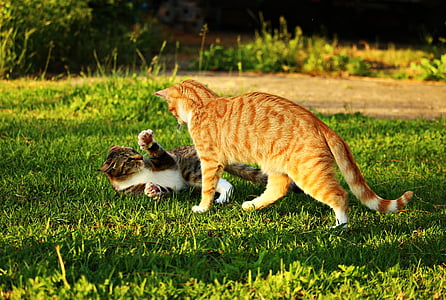 cat, mieze, kitten, mackerel, tiger cat, red mackerel tabby, red cat