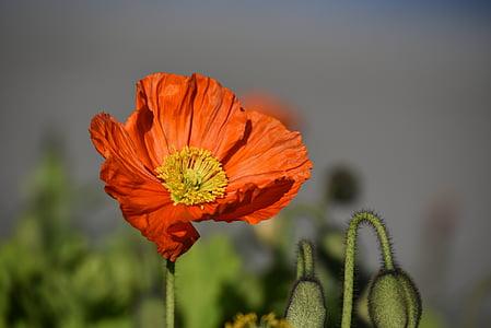 poppy, flower, red, spring, blossom, bloom, red flower