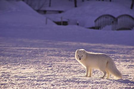очарователни, животните, животинска фотография, арктическа лисица, мъгла, Кучетата, кучешки