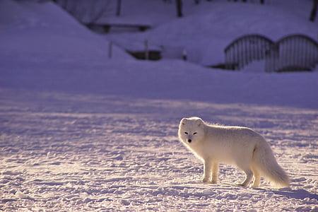 очарователни, животните, животинска фотография, арктическа лисица, мъгла, кучешки, месоядни птици
