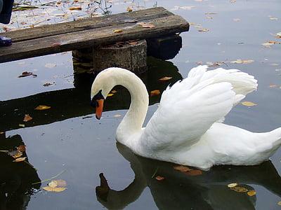 Cigne, ocells, encantadora, l'aigua, natura, cignes, elegants