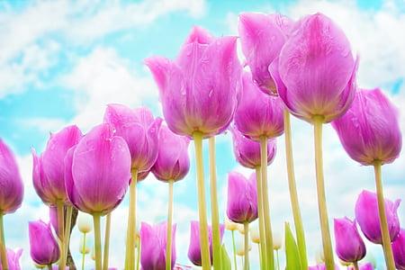 лалета, розово, Пролет, цветя, Блум, Градина, пресни