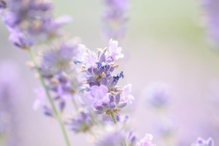 Levanda, vasaros, violetinė, levandų gėlės, tikrosios levandos, augalų, žydi levandos