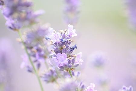lavender, summer, violet, lavender flowers, true lavender, plant, blooming lavender