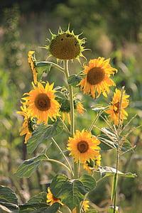 lilled, Helianthus, päike, päevalill, päevalilled, kollane, taimed