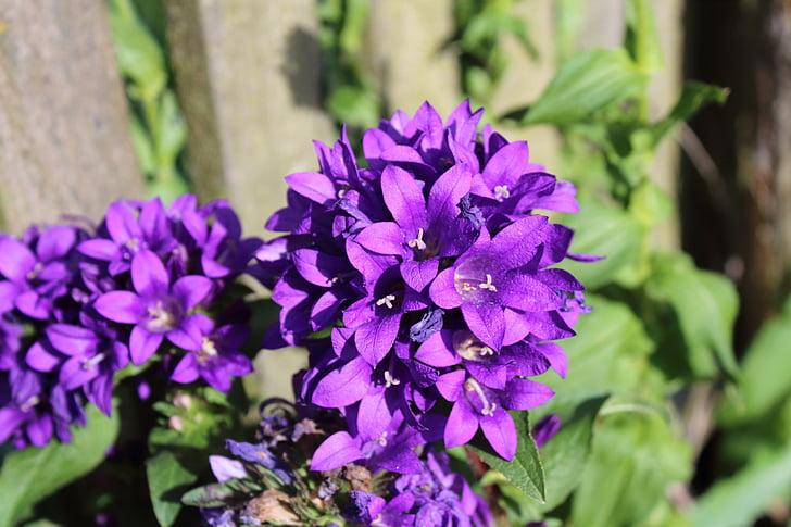 macro, violeta, flor, flor porpra, floració, flors violetes, jardí
