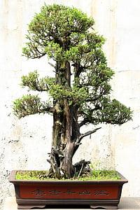 Bonsai, arbre, planta, Japó, relaxació, en miniatura, tradicional