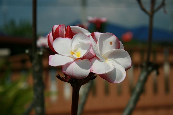 Frangipani, blomster, flere oplysninger, fragrapanti