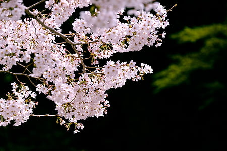 cherry, cherry blossoms, sakura, japan, spring flowers, pink, views of japan